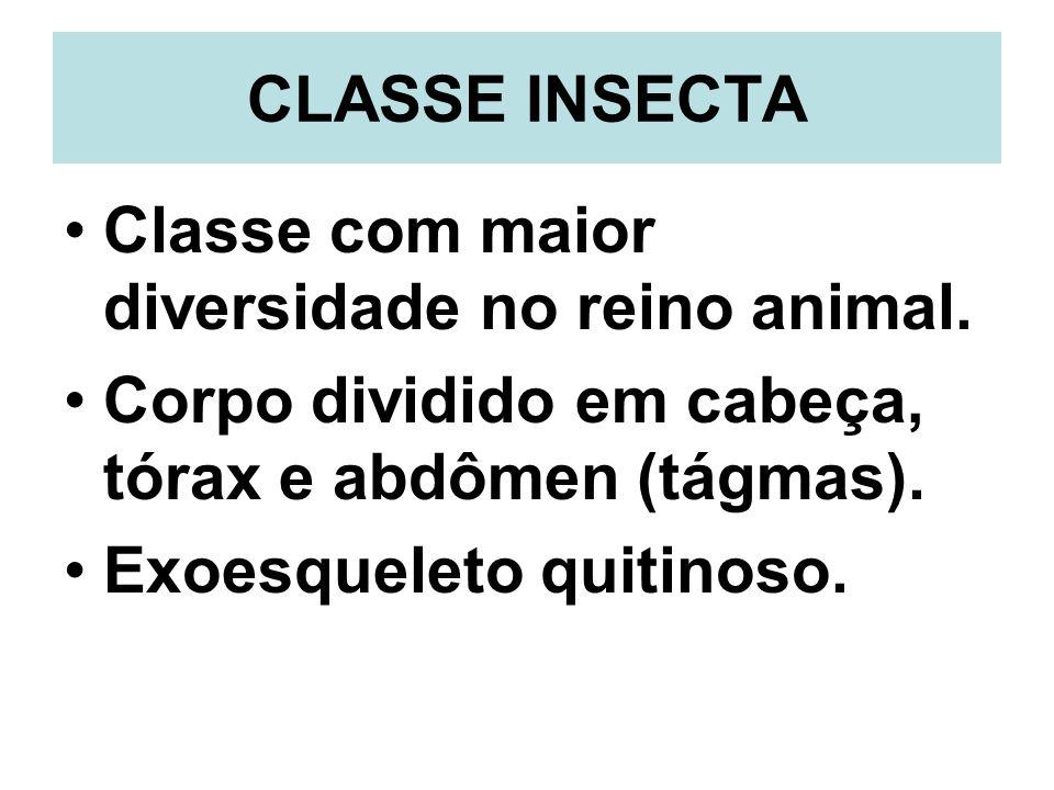 CLASSE INSECTA Classe com maior diversidade no reino animal. Corpo dividido em cabeça, tórax e abdômen (tágmas). Exoesqueleto quitinoso.