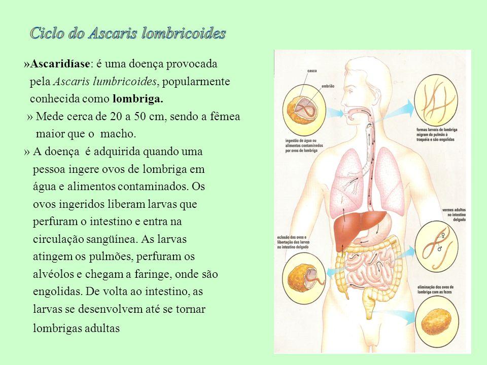 »Ascaridíase: é uma doença provocada pela Ascaris lumbricoides, popularmente conhecida como lombriga. » Mede cerca de 20 a 50 cm, sendo a fêmea maior