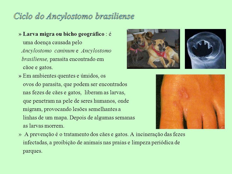 » Larva migra ou bicho geográfico : é uma doença causada pelo Ancylostomo caninum e Ancylostomo brasiliense, parasita encontrado em cãoe e gatos. » Em