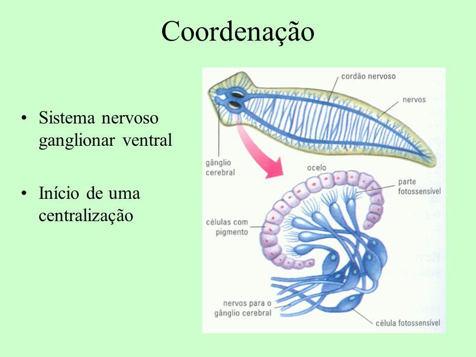 Coordenação Sistema nervoso ganglionar ventral Início de uma centralização