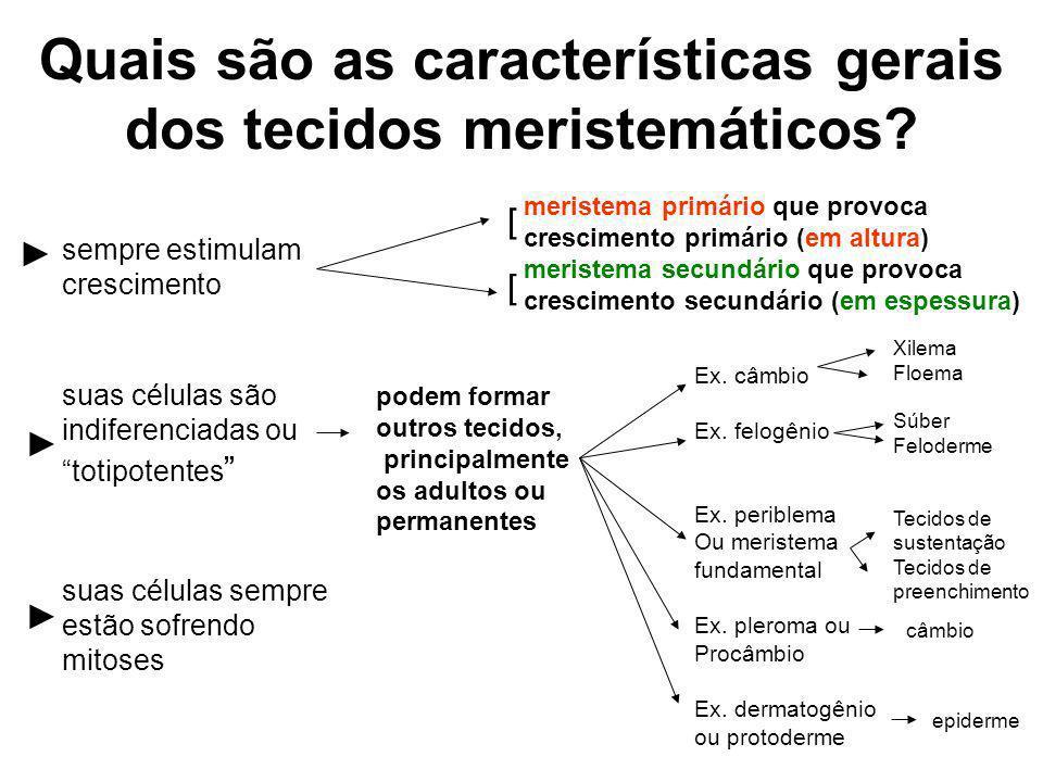 floema xilemas procâmbio meristema fundamental protoderme coifa ou caliptra periblema ou meristema fundamental procâmbio protoderme