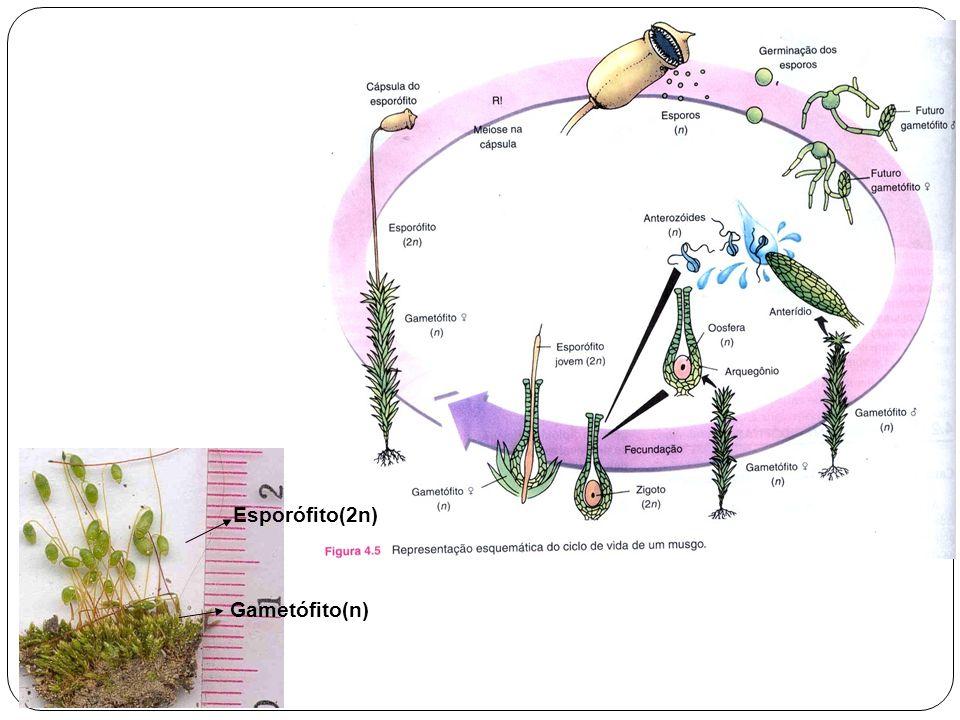 Esporófito(2n) Gametófito(n)