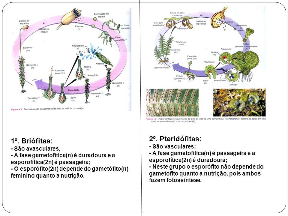 1º. Briófitas: - São avasculares, - A fase gametofítica(n) é duradoura e a esporofítica(2n) é passageira; - O esporófito(2n) depende do gametófito(n)