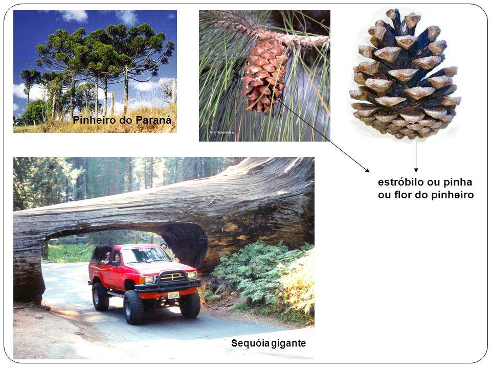 Pinheiro do Paraná estróbilo ou pinha ou flor do pinheiro Sequóia gigante