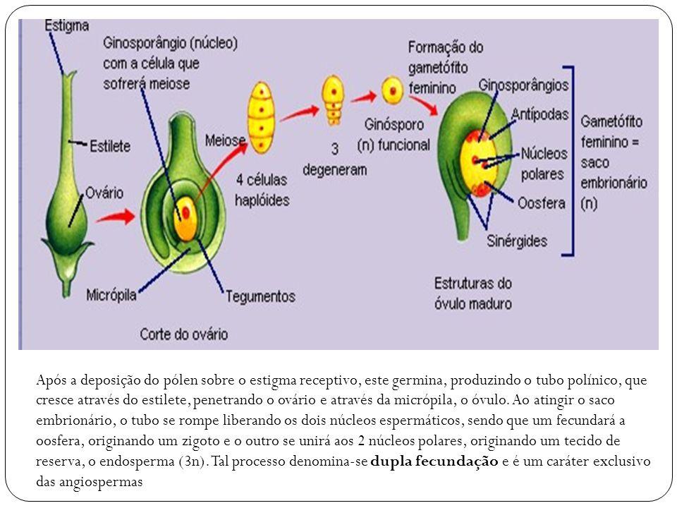 Após a deposição do pólen sobre o estigma receptivo, este germina, produzindo o tubo polínico, que cresce através do estilete, penetrando o ovário e a