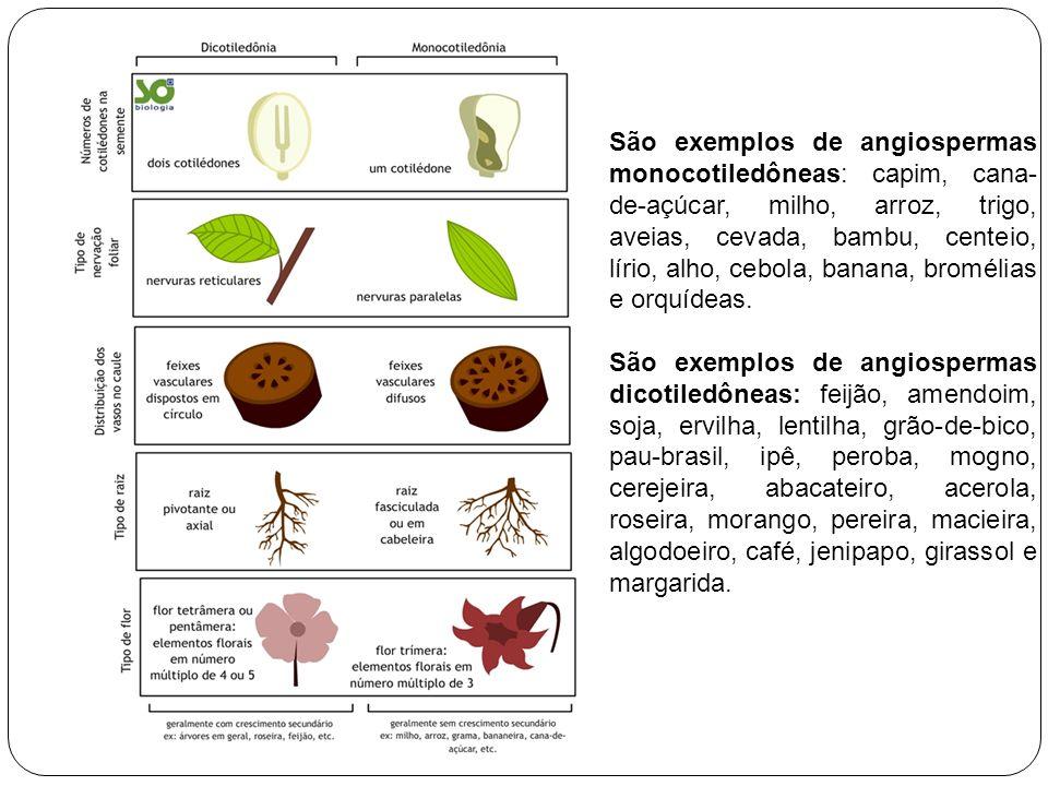 São exemplos de angiospermas monocotiledôneas: capim, cana- de-açúcar, milho, arroz, trigo, aveias, cevada, bambu, centeio, lírio, alho, cebola, banan