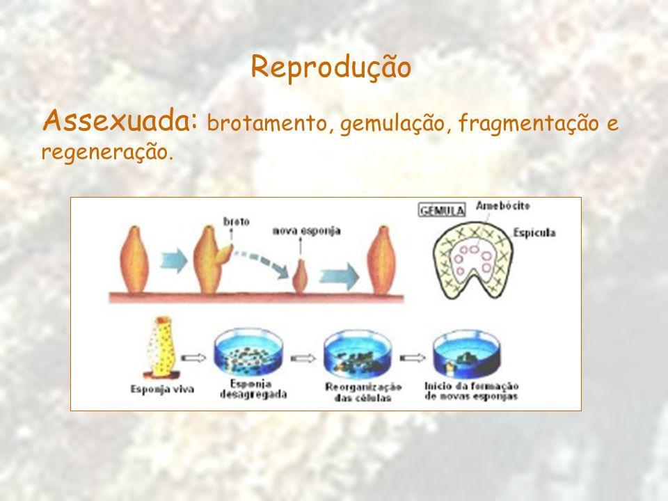 Reprodução Assexuada: brotamento, gemulação, fragmentação e regeneração.