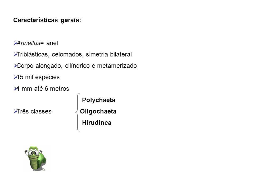 Características gerais: Annellus= anel Triblásticas, celomados, simetria bilateral Corpo alongado, cilíndrico e metamerizado 15 mil espécies 1 mm até
