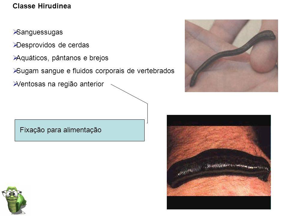 Classe Hirudinea Sanguessugas Desprovidos de cerdas Aquáticos, pântanos e brejos Sugam sangue e fluidos corporais de vertebrados Ventosas na região an