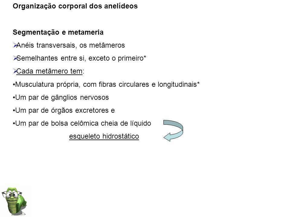 Organização corporal dos anelídeos Segmentação e metameria Anéis transversais, os metâmeros Semelhantes entre si, exceto o primeiro* Cada metâmero tem
