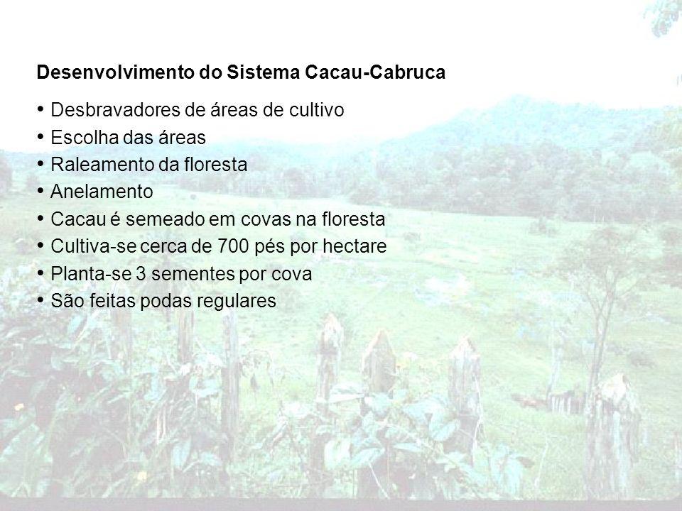 Desenvolvimento do Sistema Cacau-Cabruca Desbravadores de áreas de cultivo Escolha das áreas Raleamento da floresta Anelamento Cacau é semeado em cova