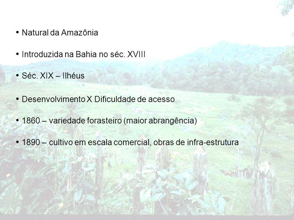 Natural da Amazônia Introduzida na Bahia no séc. XVIII Séc. XIX – Ilhéus Desenvolvimento X Dificuldade de acesso 1860 – variedade forasteiro (maior ab