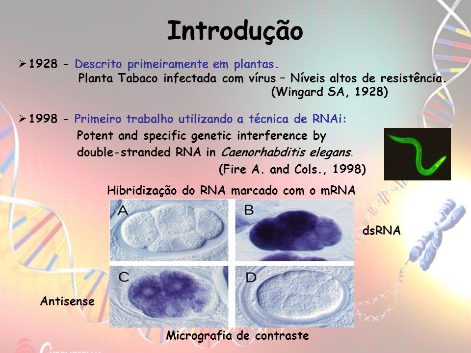 2001 – Análises em Drosophilas (RNAi em 2 etapas) Descoberta da clivagem do mRNA em Drosophila.