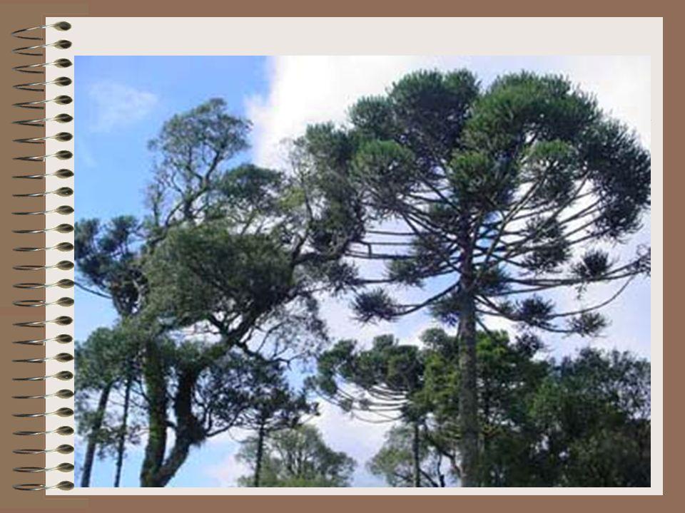 Histórico - Brasil Processo de destruição das matas nativasdestruição Empresas investem em reflorestamento Espécies exóticas introduzidas
