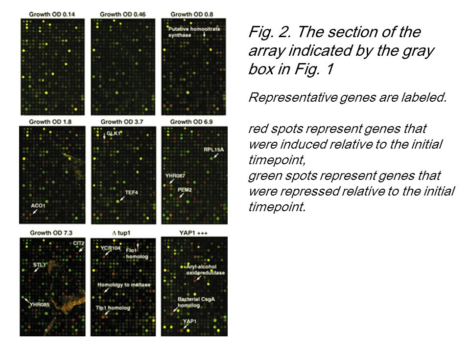 Fig. 2. The section of the array indicated by the gray box in Fig. 1 Representative genes are labeled. red spots represent genes that were induced rel