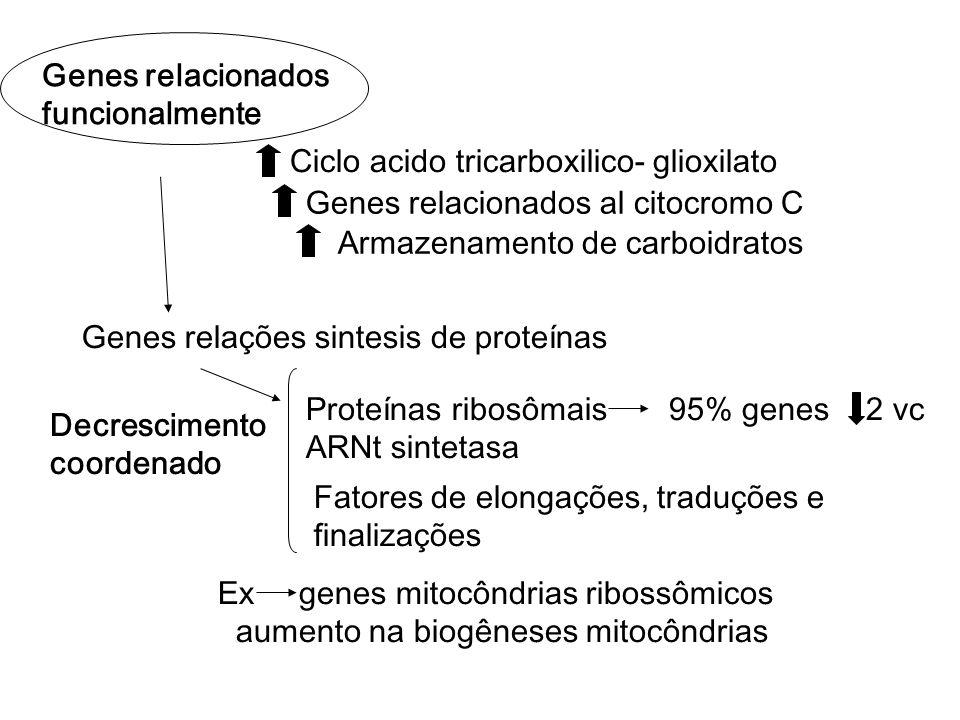 Genes relacionados funcionalmente Genes relacionados al citocromo C Ciclo acido tricarboxilico- glioxilato Armazenamento de carboidratos Proteínas ribosômais 95% genes ARNt sintetasa Genes relações sintesis de proteínas Fatores de elongações, traduções e finalizações 2 vc Decrescimento coordenado Ex genes mitocôndrias ribossômicos aumento na biogêneses mitocôndrias