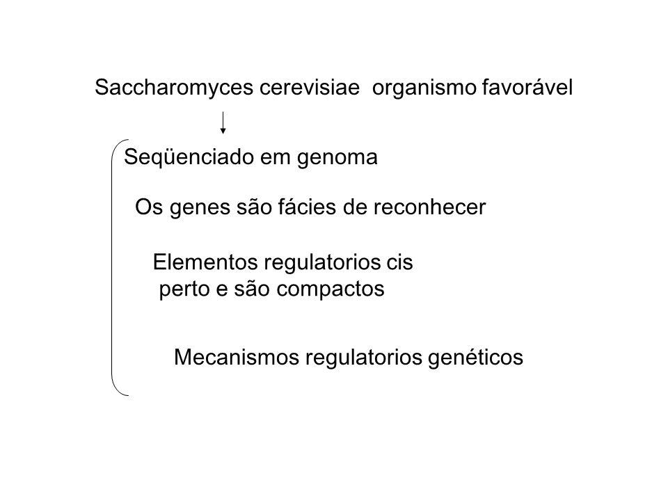 Saccharomyces cerevisiae organismo favorável Seqüenciado em genoma Os genes são fácies de reconhecer Elementos regulatorios cis perto e são compactos Mecanismos regulatorios genéticos