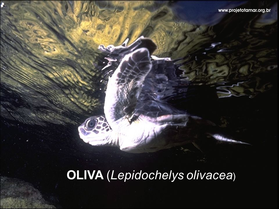 OLIVA (Lepidochelys olivacea )