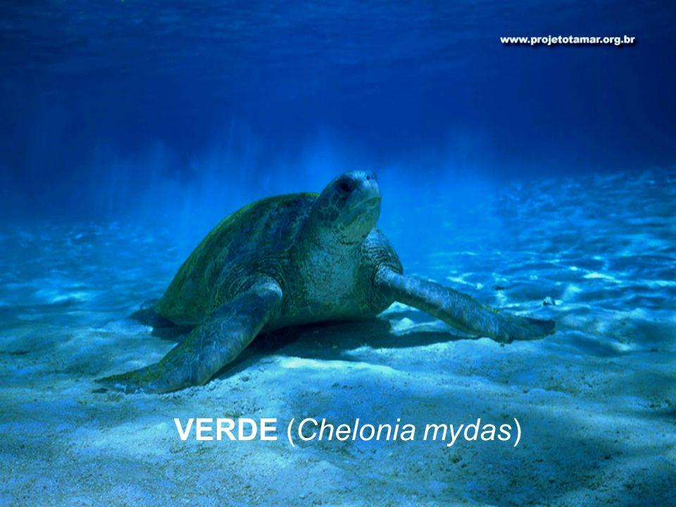 VERDE (Chelonia mydas)