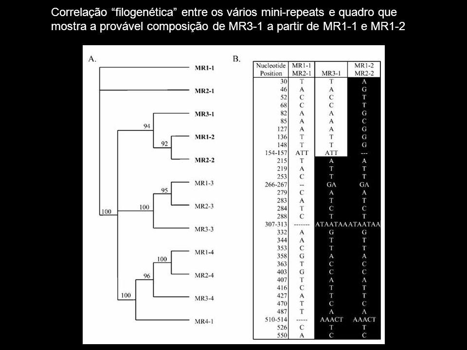Correlação filogenética entre os vários mini-repeats e quadro que mostra a provável composição de MR3-1 a partir de MR1-1 e MR1-2