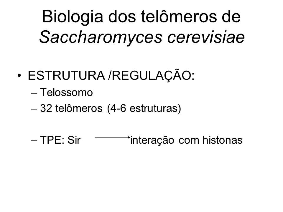 Biologia dos telômeros de Saccharomyces cerevisiae ESTRUTURA /REGULAÇÃO: –Telossomo –32 telômeros (4-6 estruturas) –TPE: Sirinteração com histonas