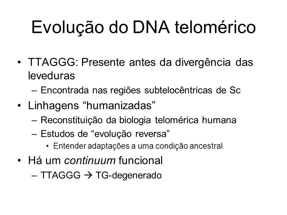 Evolução do DNA telomérico TTAGGG: Presente antes da divergência das leveduras –Encontrada nas regiões subtelocêntricas de Sc Linhagens humanizadas –R
