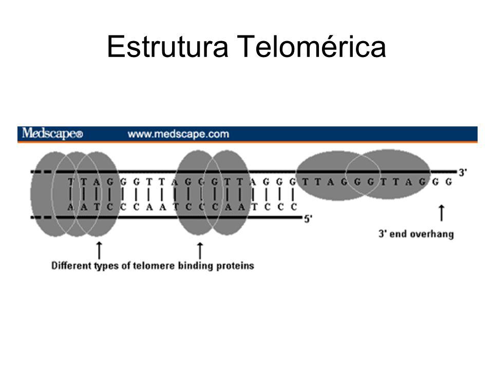 Modelo proposto para a extremidade telomérica de um cromossomo.