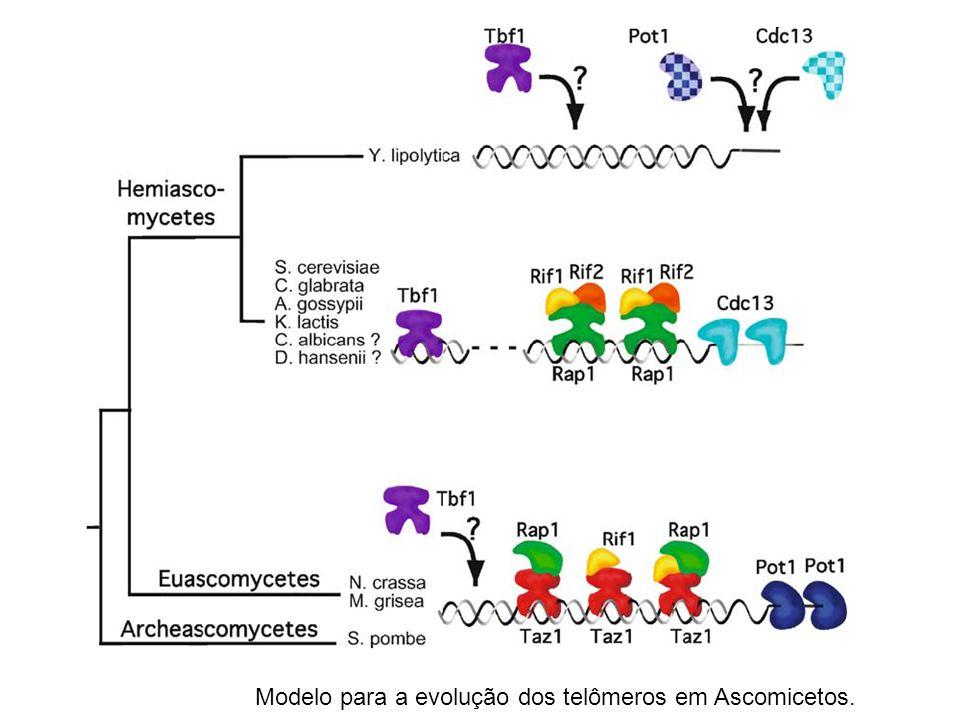 Modelo para a evolução dos telômeros em Ascomicetos.