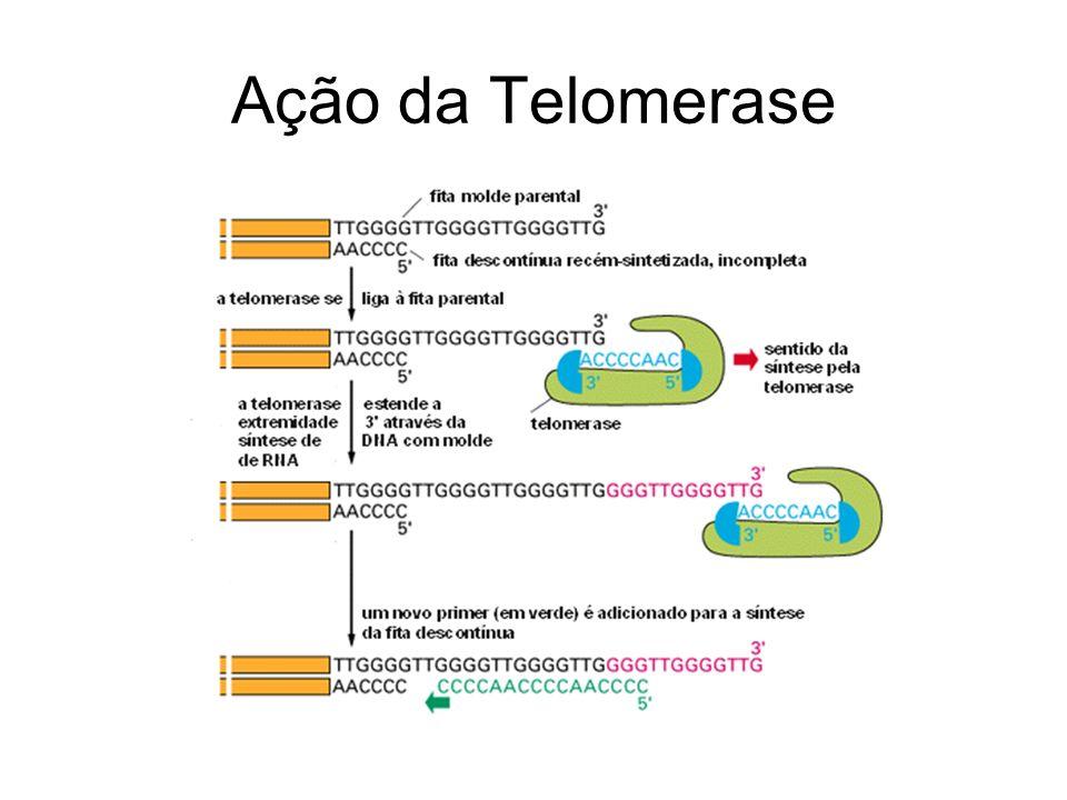 Biologia dos telômeros de Saccharomyces cerevisiae FUNCIONALIDADE: –Genes envolvidos (fig) –In vivo: Proteínas adicionais (Est1, Est3, Cdc13) –Cdc13 –Ten1DNApol α –Stn1