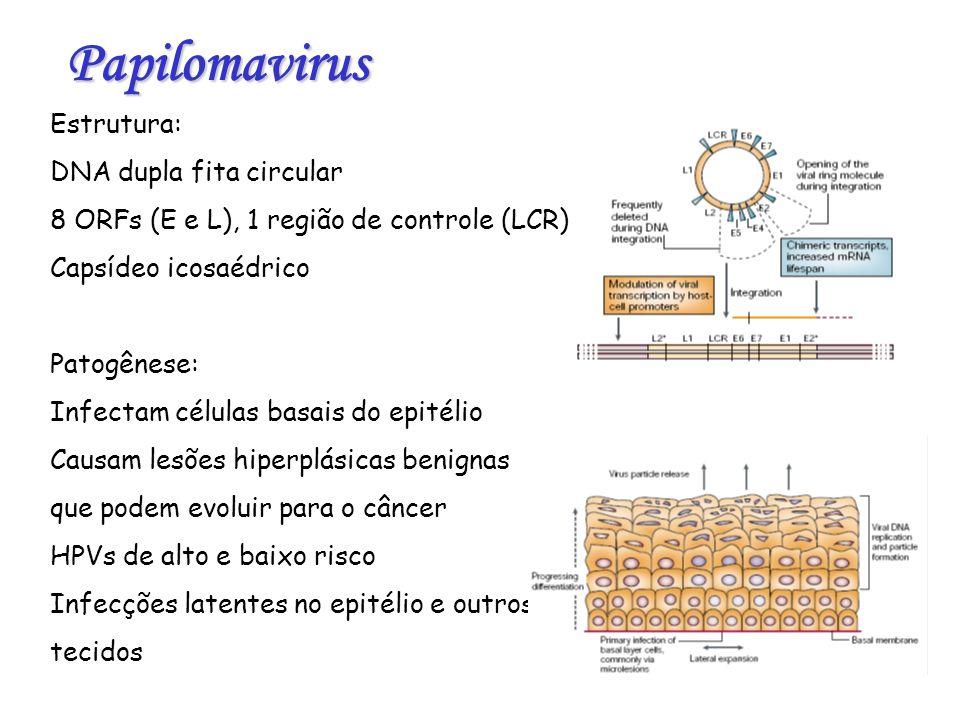 Presença do HPV no sêmen: Alterações na motilidade do espermatozóide (astenospermia) Diminuição da capacidade reprodutiva Fragmentação do DNA e apoptose em espermatozóides p53: Proteína nuclear que se liga ao DNA e regula a expressão de pts envolvidas no controle do ciclo celular Possui três domínios: ligante ao DNA, oligomerização e ativação da transcrição