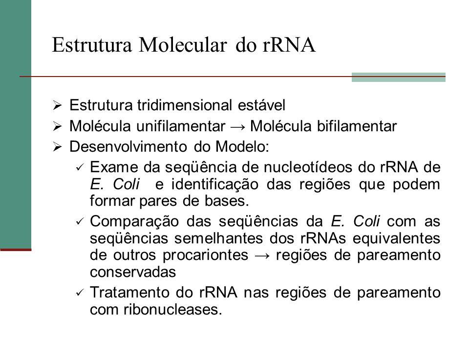 Estrutura Molecular do rRNA Estrutura tridimensional estável Molécula unifilamentar Molécula bifilamentar Desenvolvimento do Modelo: Exame da seqüênci