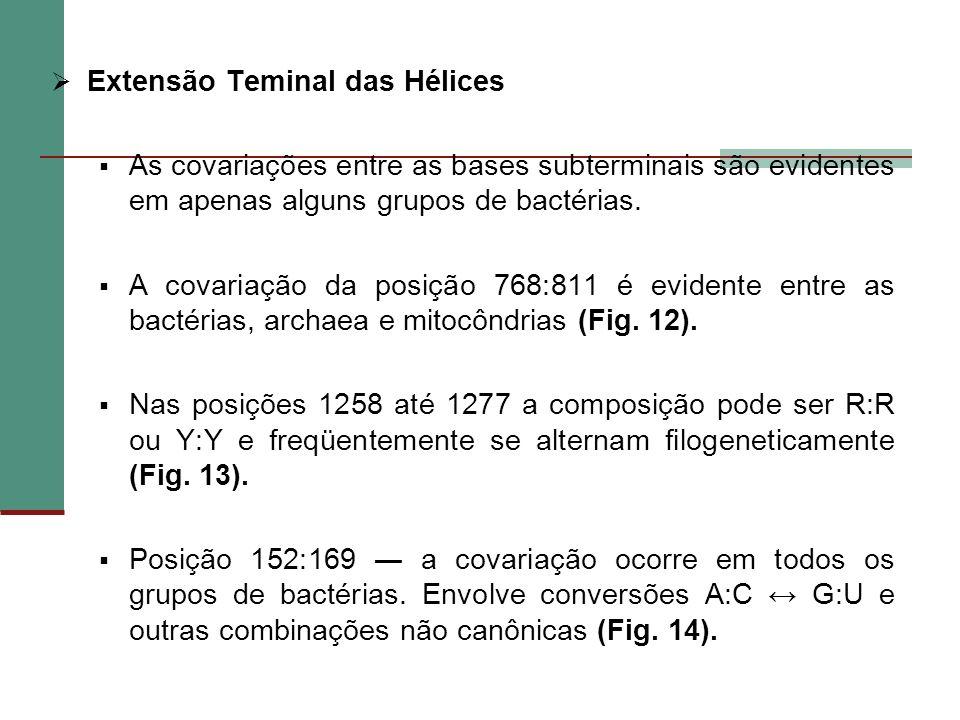 Extensão Teminal das Hélices As covariações entre as bases subterminais são evidentes em apenas alguns grupos de bactérias. A covariação da posição 76