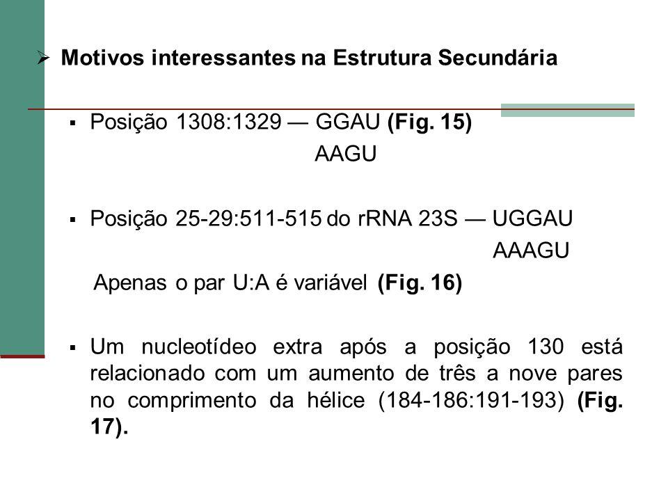 Motivos interessantes na Estrutura Secundária Posição 1308:1329 GGAU (Fig. 15) AAGU Posição 25-29:511-515 do rRNA 23S UGGAU AAAGU Apenas o par U:A é v