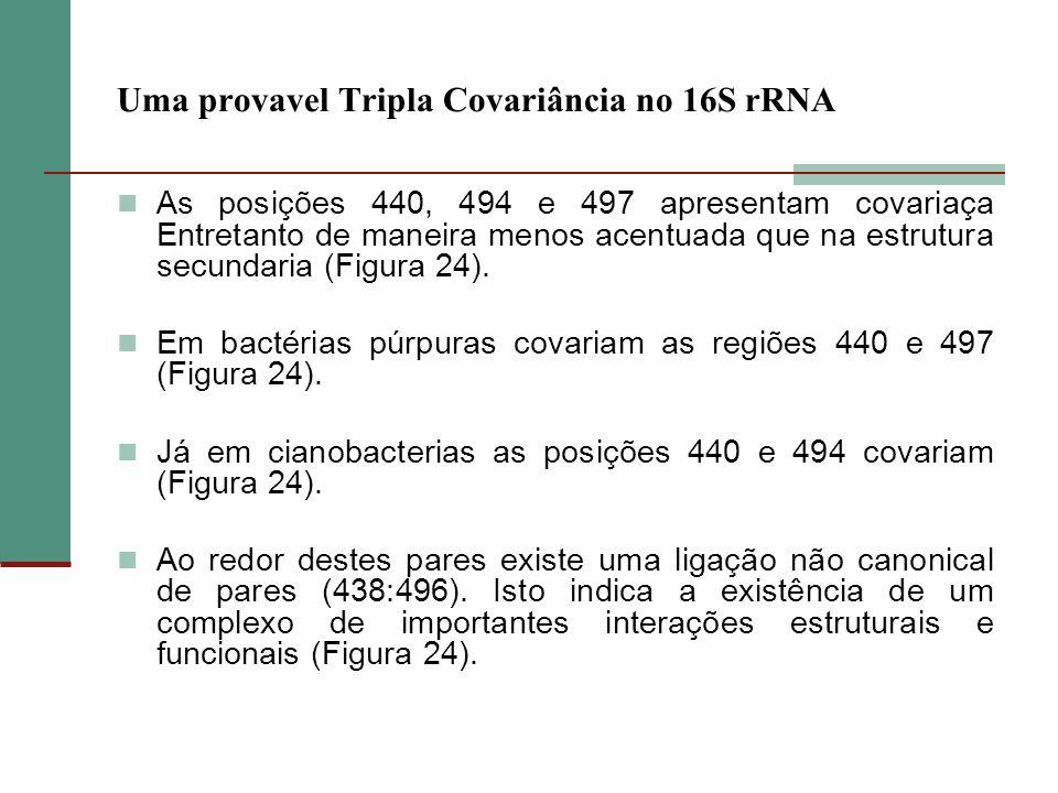 Uma provavel Tripla Covariância no 16S rRNA As posições 440, 494 e 497 apresentam covariaça Entretanto de maneira menos acentuada que na estrutura sec