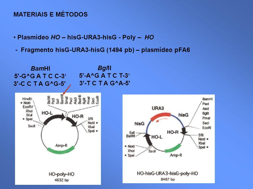MATERIAIS E MÉTODOS Plasmídeo HO – hisG-URA3-hisG - Poly – HO - Fragmento hisG-URA3-hisG (1494 pb) – plasmídeo pFA6 BamHI 5'-G^G A T C C-3 3'-C C T A