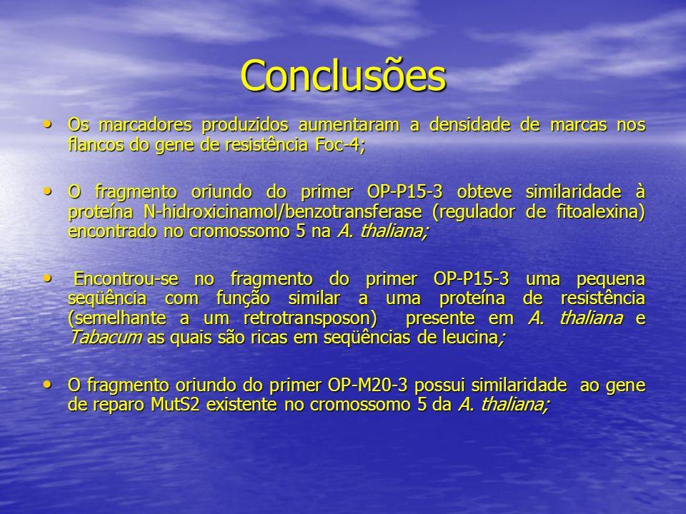 Conclusões Os marcadores produzidos aumentaram a densidade de marcas nos flancos do gene de resistência Foc-4; Os marcadores produzidos aumentaram a d