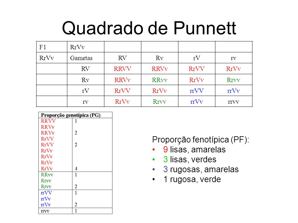 Quadrado de Punnett Proporção fenotípica (PF): 9 lisas, amarelas 3 lisas, verdes 3 rugosas, amarelas 1 rugosa, verde F1RrVv GametasRVRvrVrv RVRRVVRRVvRrVVRrVv RvRRVvRRvvRrVvRrvv rVRrVVRrVvrrVVrrVv rvRrVvRrvvrrVvrrvv
