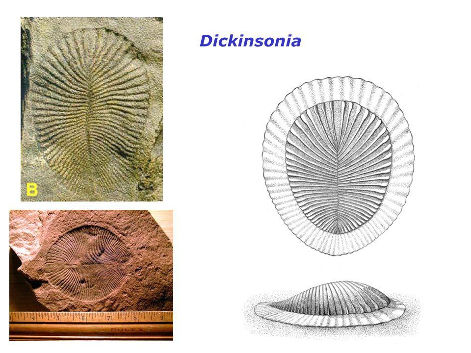 Dickinsonia