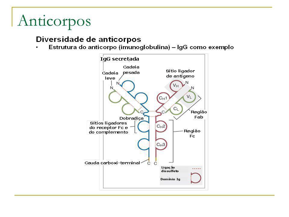 Genes separados para segmentos V e C (Willian Dreyer e Claude Bennett – 1965) Somente um gene para as cadeias Hc e Lc Vários Genes para as gadeias Hv e Lv Acreditava-se que o DNA no cromossomo é imutável exceto na meiose para formar as células sexuais Susumu Tonegawa em 1976 verificou que os fragmentos de restrição de DNA de anticorpos de mieloma de rato não são similares aos do DNA embrionário destes anticorpos Anticorpos