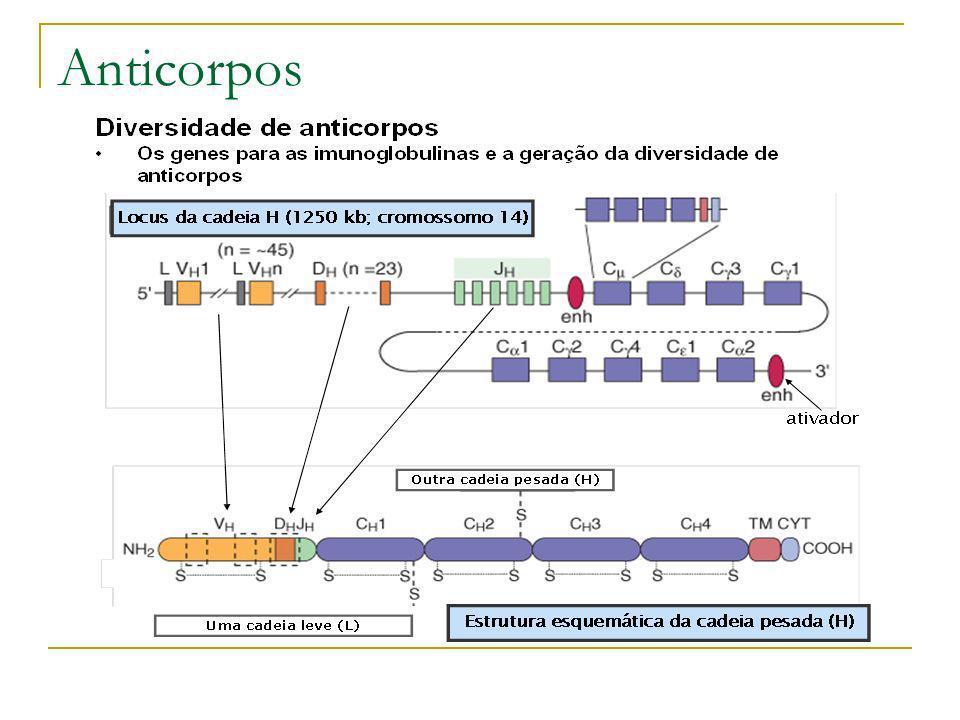 Anticorpos Monoclonais Descoberta de Anticorpos mais simples em Dromedários (Muyldemans – 1989) Apresentam anticorpos normais de quatro cadeias e cerca de 50% mais simples com um par de cadeias Em camelídeos do velho e novo mundo (camelos, lhamas e dromedários) quase metade dos anticorpos que circula no sangue não possui a cadeia leve (Muyldemans – 1993) Os anticorpos apresentam a mesma eficiência dos normais apesar de apresentarem somente metade das CDRs e ser dez vezes menor Maior agilidade podendo se atracar antígenos menores Os anticorpos dotados apenas de cadeias pesadas não grudam uns nos outros ao contrário dos Fabs Nasceram assim os: