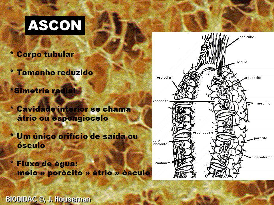 ESPÍCULAS * Orgânicas - Fibras de espongina * Inorgânicas - Sílica - Carbonato de Cálcio