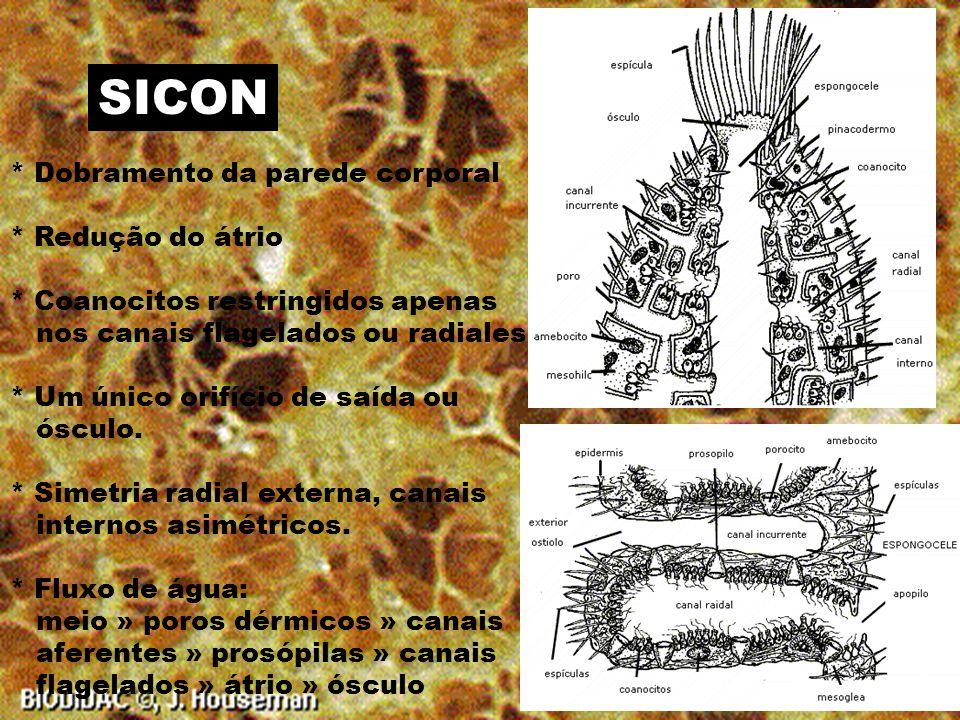 ASCON * Corpo tubular * Tamanho reduzido *Simetria radial * Cavidade interior se chama átrio ou espongiocelo * Um único orifício de saída ou ósculo * Fluxo de água: meio » porócito » átrio » ósculo