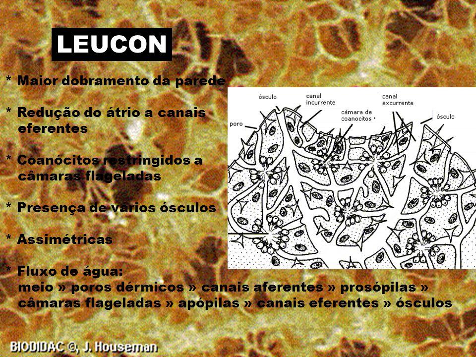 SICON * Dobramento da parede corporal * Redução do átrio * Coanocitos restringidos apenas nos canais flagelados ou radiales * Um único orifício de saída ou ósculo.