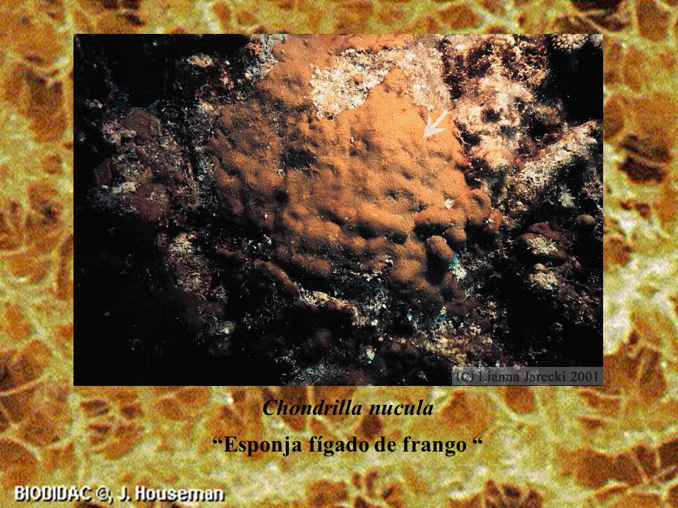 Fibula nolitangere Bolo venenoso ou Touch-me-not sponge