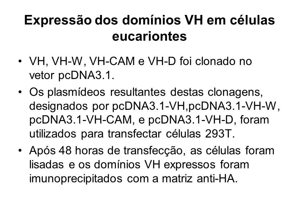 Expressão dos domínios VH em células eucariontes VH, VH-W, VH-CAM e VH-D foi clonado no vetor pcDNA3.1. Os plasmídeos resultantes destas clonagens, de