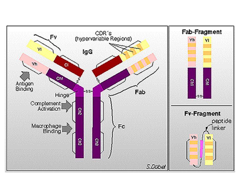 Obstáculos Expressão intracelular dos anticorpos é confrontado por: –Diminuição da solubilidade –Níveis de expressão –Tempo de meia-vida –Instabilidade da ligação entre VH e VL Impedem a capacidade de neutralização da proteína alvo Anticorpos de cadeia única VH ou VL