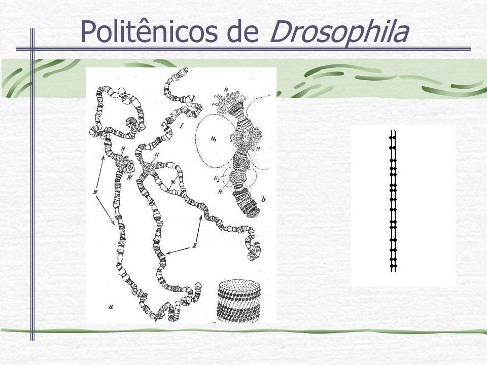 Politênicos de Drosophila