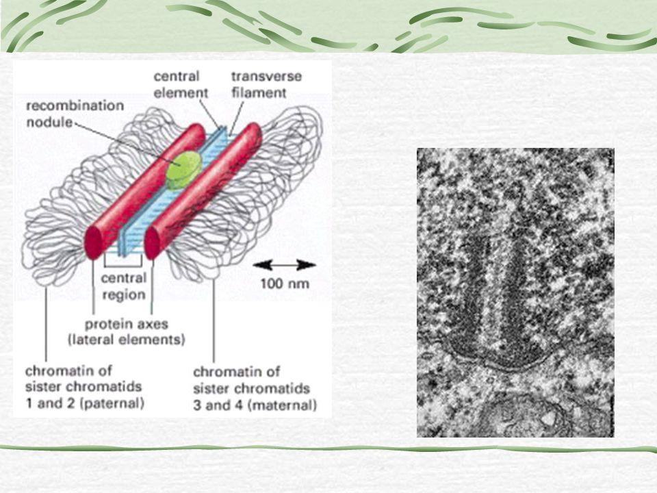 Cromossomos plumosos