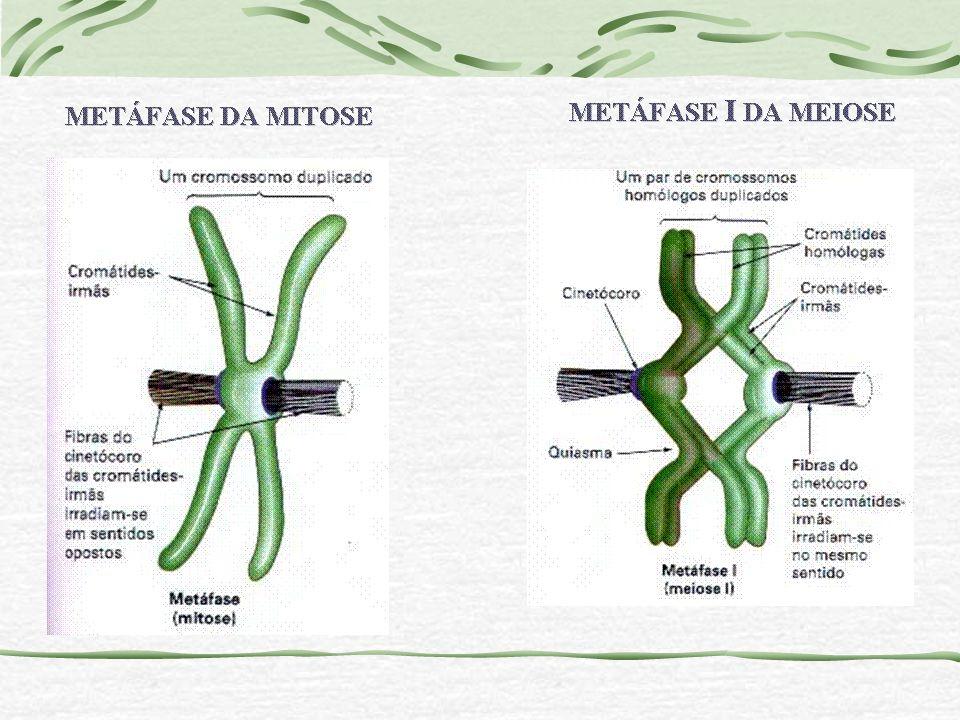 Cromossomos em microscopia de varredura Esquema do cromossomo metafásico