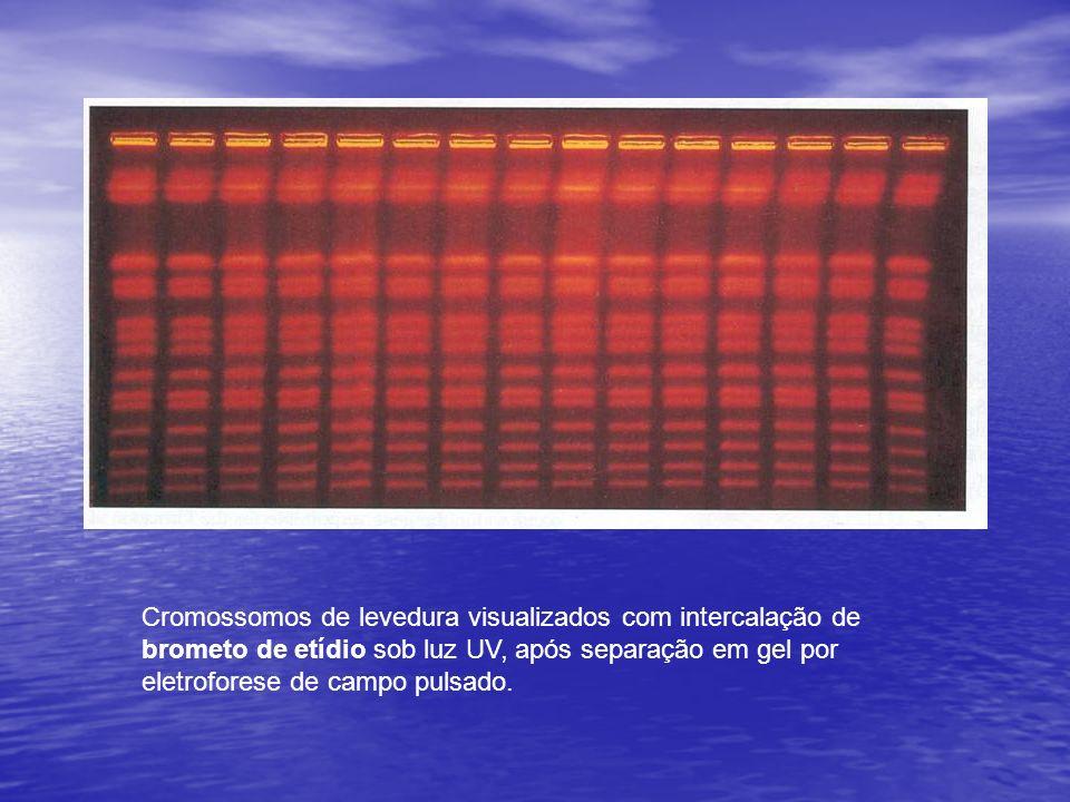 Cromossomos de levedura visualizados com intercalação de brometo de etídio sob luz UV, após separação em gel por eletroforese de campo pulsado.